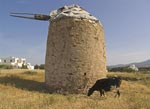 Dairy Cow at the Windmill, Crete, Greece